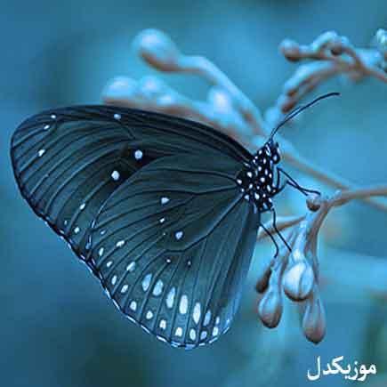 دانلود آهنگ اگه پروانه بودم میپریدم بلال یار بلال مصطفی ابراهیمی